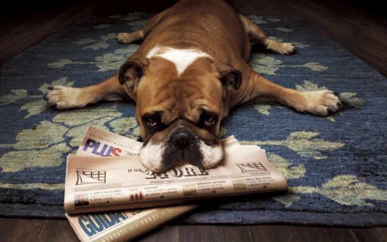 bulldog, собаки, собак, смешные, собака, зооклубе, zhivotnye, порода, flying, приколы,