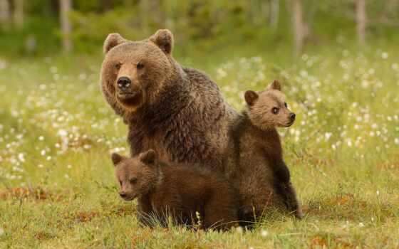 медведь, medvezhonok, аватар, ursa, два, фото, tulipnight, forum, animal