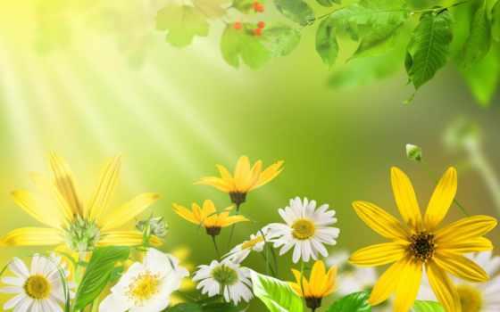 ромашки, цветы, высоком