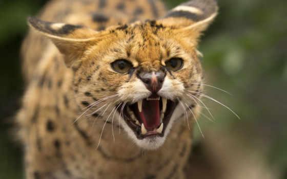 кот, ухмылка, rage, клыки, дикая, пасть, дикие, морда, несмотря, сервал,