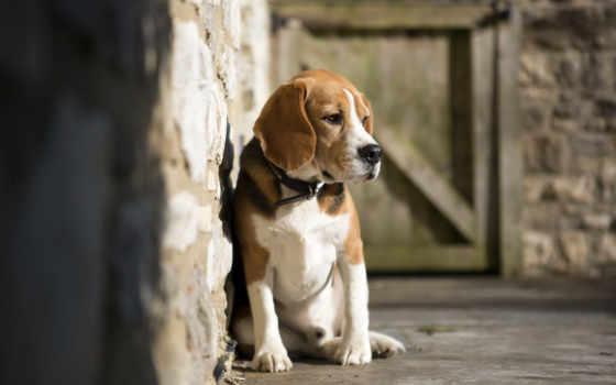 породы, собак, красивые, самые, собаки, beagle, мире, собака,