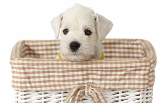tapety, собаки, maltańczyk
