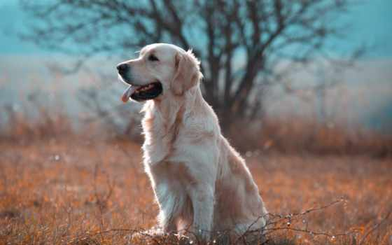 retriever, золотистый, cheap, pictures, собака, живопись, картинка,