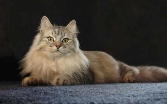 кот, persian, desktop, lying, cats, пол,