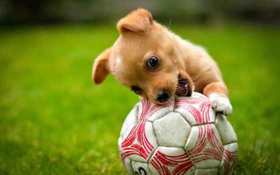 собака, мяч, soccer, game, щенок, газон, red, animals, baby,