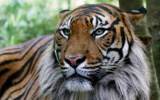 тигр, тигры, картинку