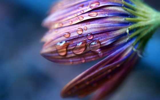 макро, цветы, капли, растение, фотографий, orvalho, лепестки, природы,