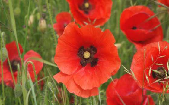 маки, красные, цветы