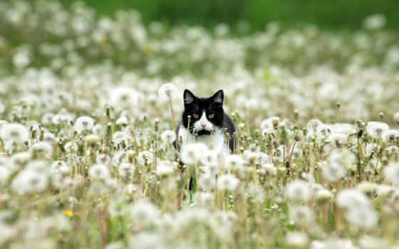 white, black, кот