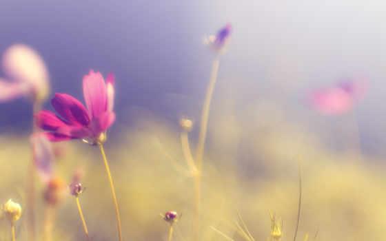 космея, розовый, лепестки, цветы, яркий, стебель, макро, розовые,