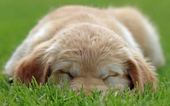 щенок, собака, глаза, preview, labrador, puppies,