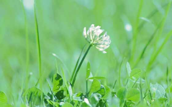clover, трава, макро, зелёный, страница, palm, широкоформатные, берег, cvety,