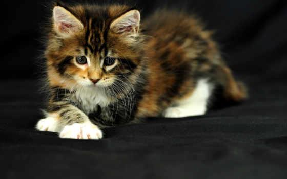 малыш, пушистик, кошки, котенок, neko, коты, взгляд, котята, фотографий,