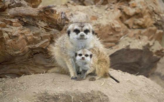 suricata, suricatta, сурикат, images, getty, stock, сурикаты, namaquensis, suricate, мама,