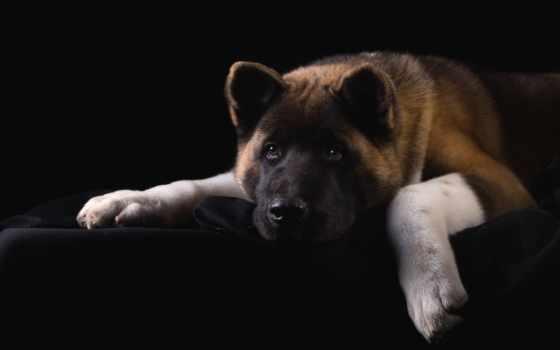 акита, американская, собак, собаки, zhivotnye, породы, собака, овчарка, black, щенок,