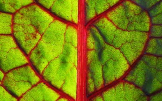 лист, зеленый