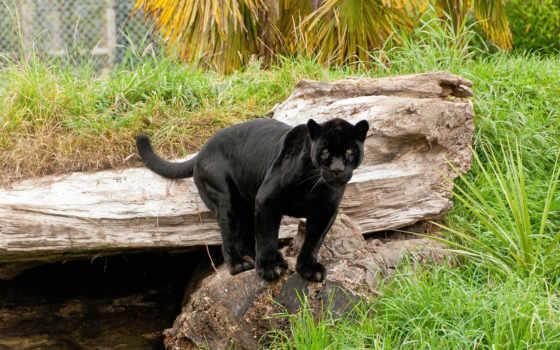 кошки, jaguar, black, пантеры,