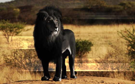 lion, black, высокого
