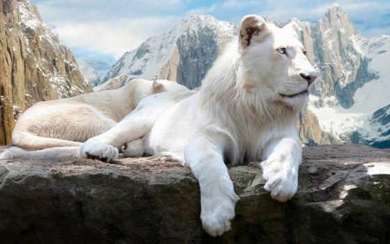 белый лев Фон № 108223 разрешение 1920x1080