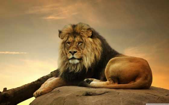 мужской, lion, description, первую, free,