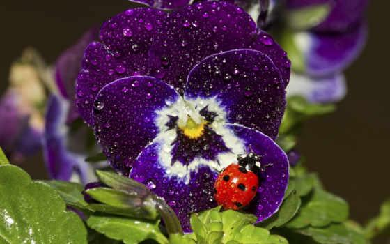 глазки, анютины, cvety, цветы,