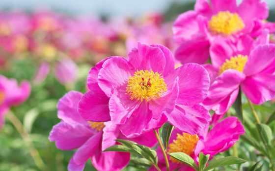 пион, цветы, free, страница, color, cvety, розовый, rosa, нота