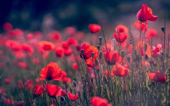 poppy, цветы, summer, красное, природа, red, mac, apple, тема