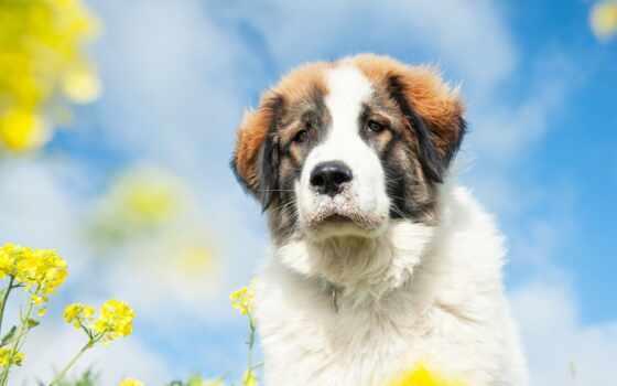 собака, щенок, сенбернар, цветы, cute, animal, утро, тигр