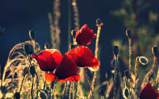 маки, цветы, бутоны