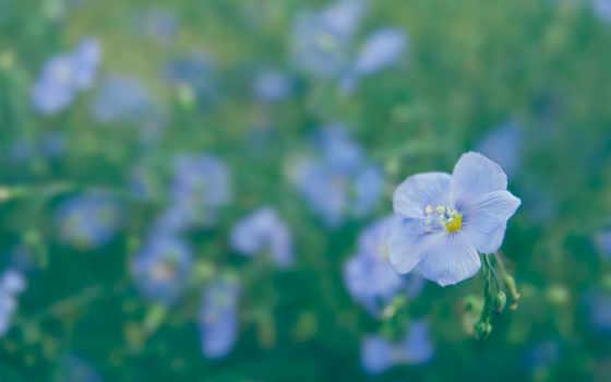 цветы, макро, лен