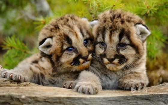 гора, lion, puma, cubs, cougar, this,