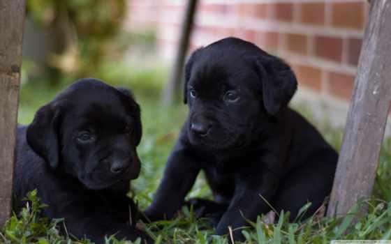 щенки, малыши, собак, собаки, двор, labrador, лабрадора, pair, черненькие,