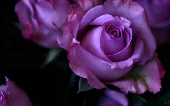 roses, роза, purple