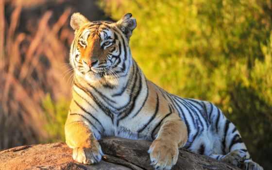 тигр, лежит, зверь, zhivotnye, взгляд, гордый, images, fone, зелени,