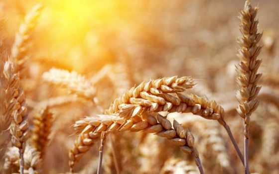 пшеница, ears, спелый, трава, поле, природа,