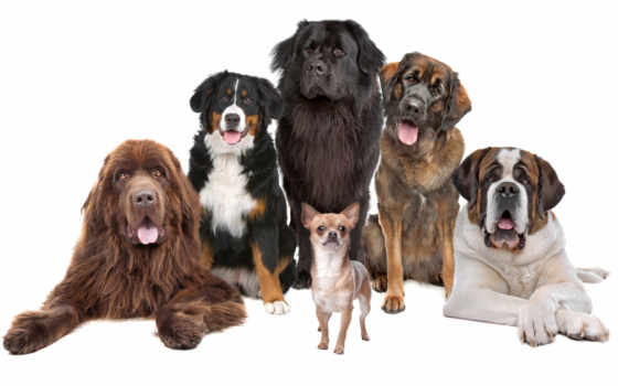 собаки, собака, собак, сенбернар, ветеринарная, beethoven, клиника, гора, чихуахуа, bernese, newfoundland,