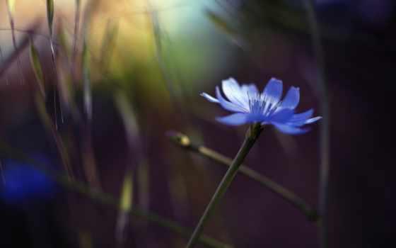 василек, blue, цветы, single, тычинки, волошка, макро, размытость, самые,