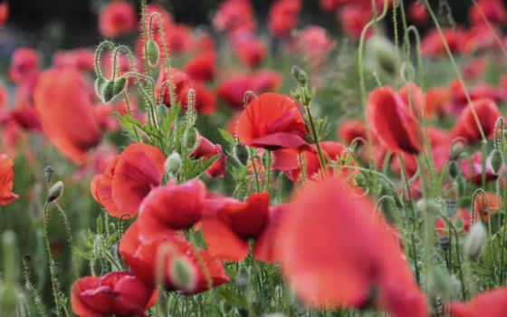 poppy, листья