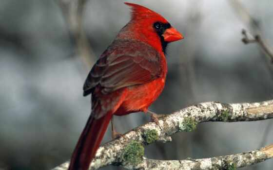 птицы, птица, попугаи, red, кардинал, ветеринария, прохождение, ветке, кошки,