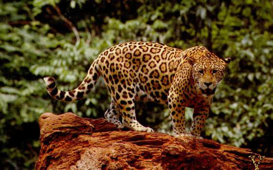 леопард, снег, jaguar