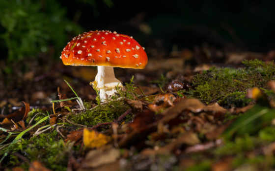 мухомор, mushroom, трава