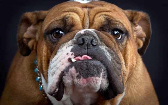 bulldog, морда, язык, french, собака, взгляд, трава,
