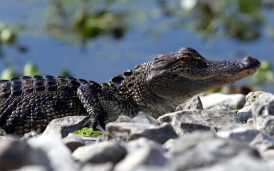 крокодилы, zhivotnye, лучшая, уже, коллекция, загружено,