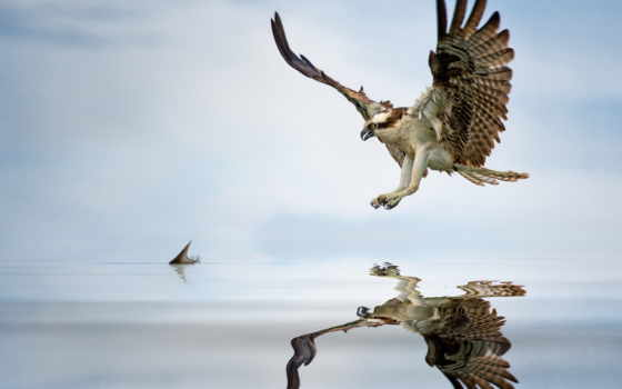 osprey, fish, water, hunting, wings, полет, nest, booty, ospreys, небо, spread,