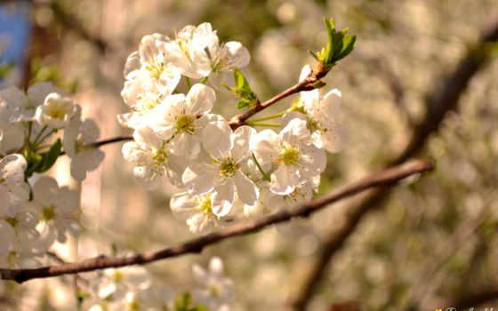 природа, bokeh, великолепие, весна, дерево, лепестки, time, flowers,