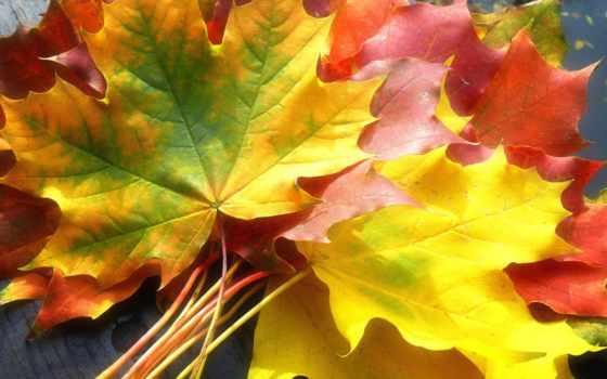осень, листва, золотая, maple, красивые, природа, заставки, осенние,
