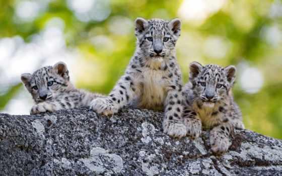 снег, леопард, leopards, wild, кот