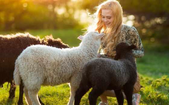 девушка и овечки