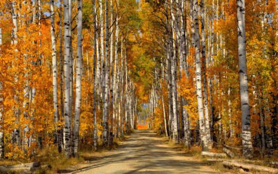 березы, деревя, les