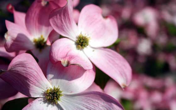 розовый, flowers, цветы